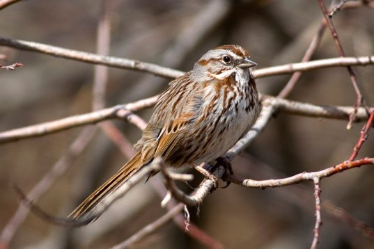 Song Sparrow3-lg