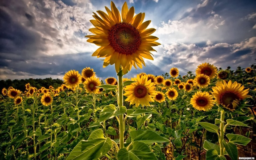 Sunflower+field